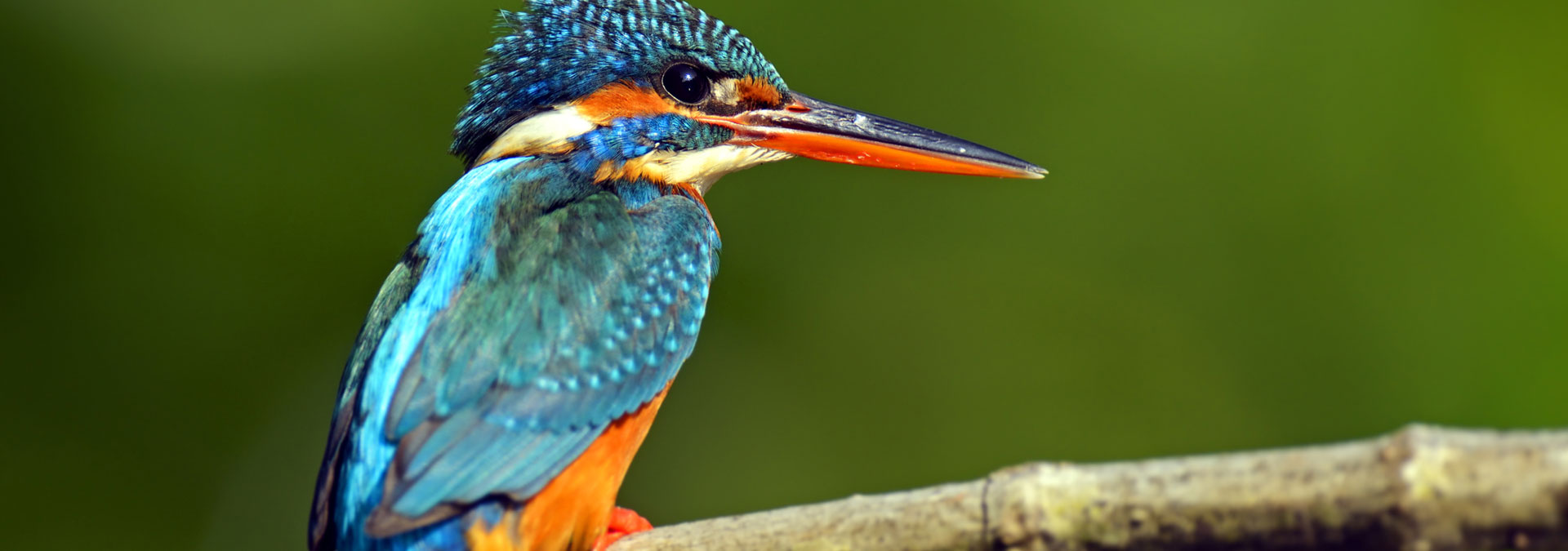 KINGFISHER  DREAMING